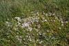 Anagallis alternifolia var. repens