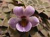 Viola columnaris