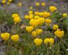 Calceolaria borsinii