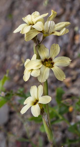 Sisyrinchium arenarium
