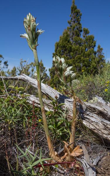 Chloraea philippii