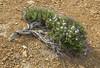 Junellia succulentifolia
