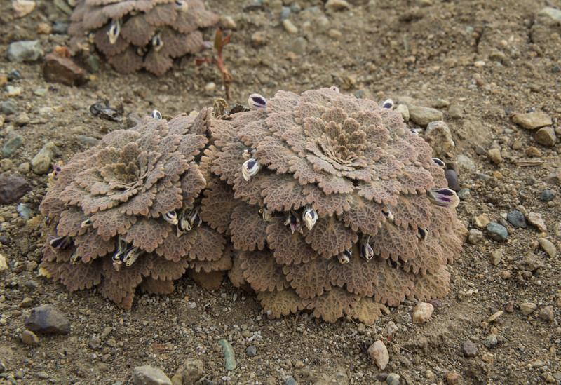 Viola volcanica