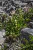Valeriana chilensis