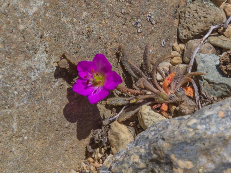 Montiopsis gayana