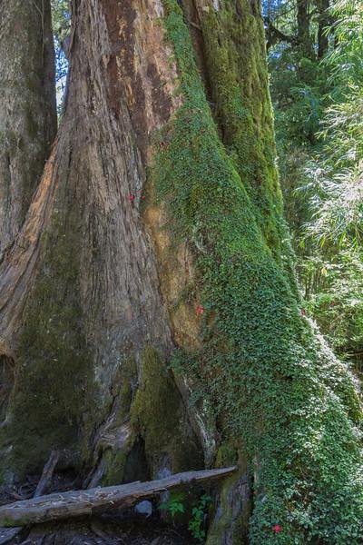 Asteranthera ovata on  Saxegothaea conspicua trunk