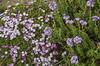 Junellia toninii ssp. mulinoides and Junellia succulentifolia