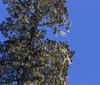 Lichen at Fitzroya cupressoides