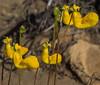 Calceolaria polyrhiza