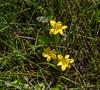Sisyrinchium graminifolium ssp. nanum