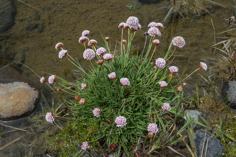 Armeria maritima ssp. andina