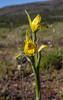 Chloraea magellanica X C. alpina