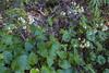 Valeriana lapathifolia
