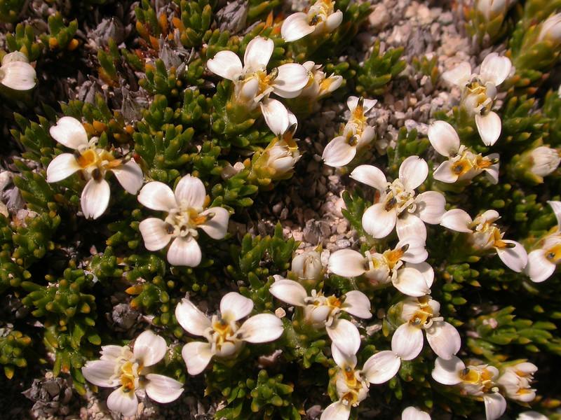 Nassauvia juniperina
