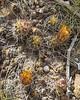 Austrocactus gracilis