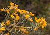 Anarthrophyllum rigidum