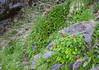 Ourisia ruellioides