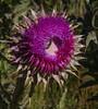 Carduus af. nutans