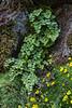 Adiantum chilense and Calceolaria tenella