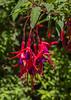 Fuchsia magellanica
