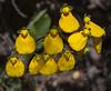 Calceolaria valdiviana x C. crenatiflora