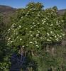 Sambucus nigra