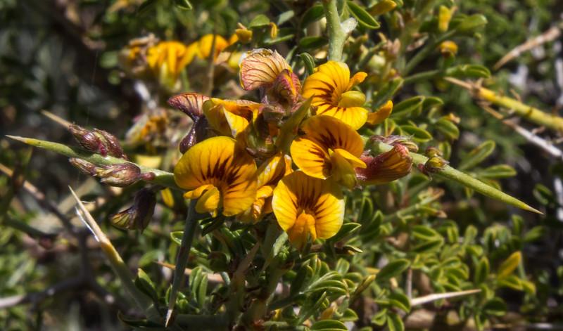 Adesmia patagonica