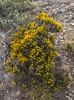 Nardophyllum bryoides