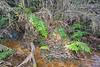 Blechnum magellanicum