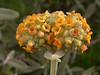 Buddleja araucana