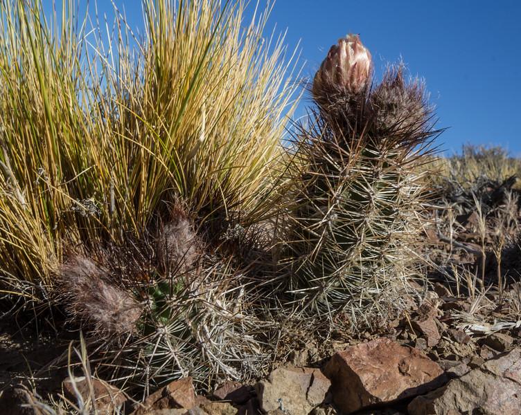 Austrocactus spec 2