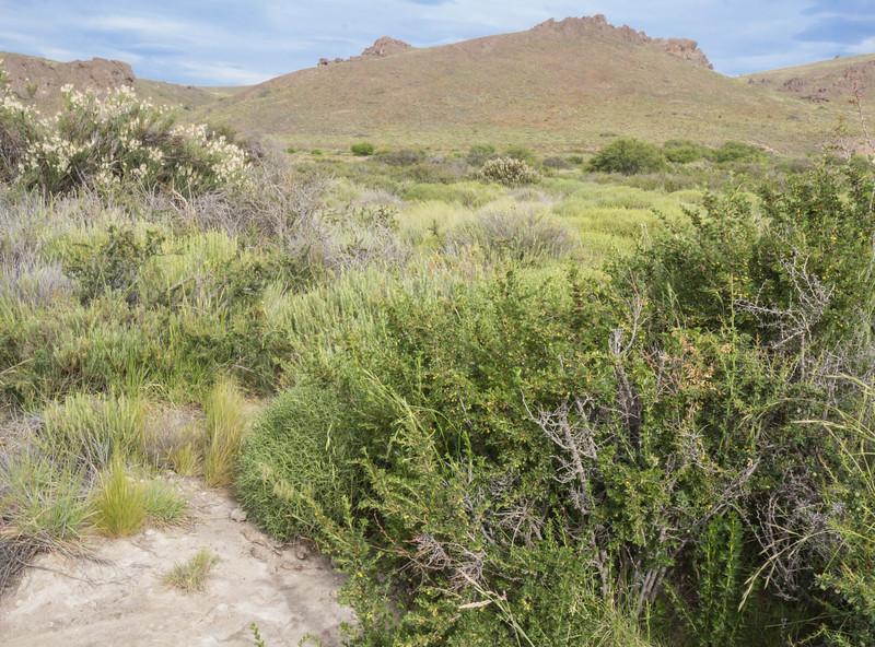 Ribes cucullatum var. densiflorum