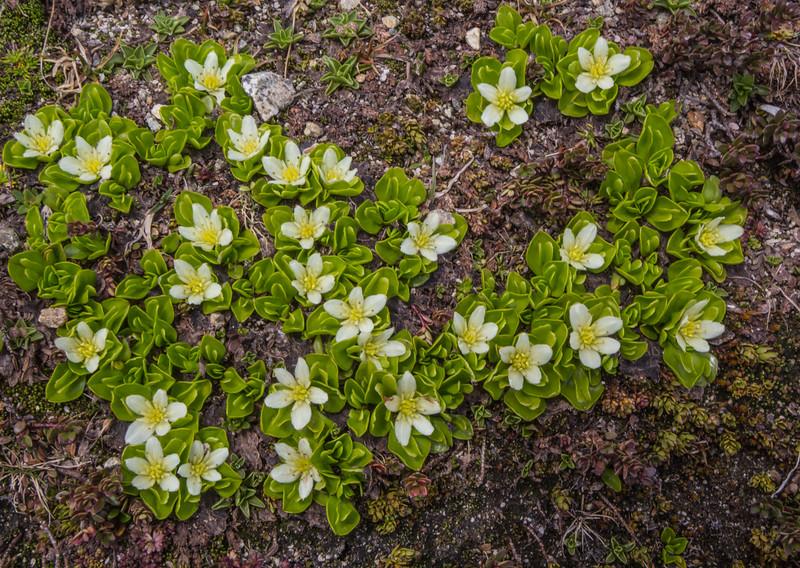 Caltha appendiculata