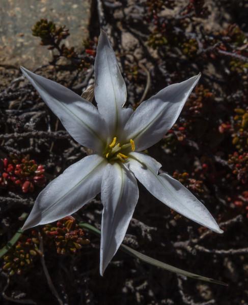 Tristagma nahuelhuapinum
