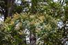 Weimammia trichosperma