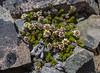 Nassauvia pygmaea