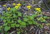 Viola magellanica