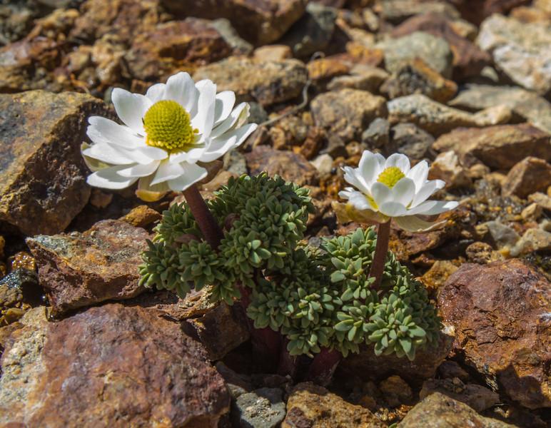 Callianthemoides semiverticillata
