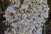 Pseudocyphellaria spec
