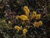 Prosopis denudans
