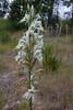 Chloraea virescens