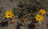 Haplopappus dipplopappus var. struthionum