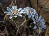 Leiucheria achilleifolia