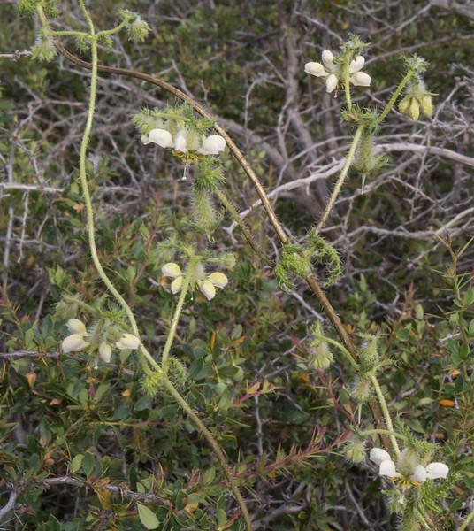 Blumenbachia silvestris