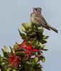 Zonotrichia capensis ssp. chilensis