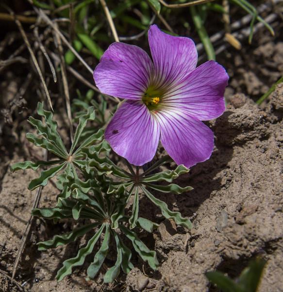 Oxalis laciniata