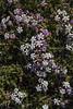 Junellia thymifolia
