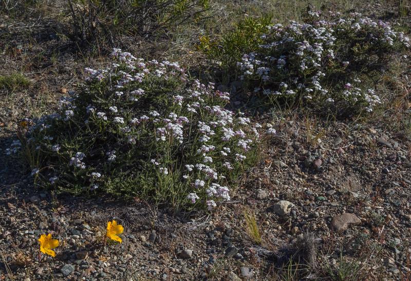 Alstroemeria patagonica and Junellia thymifolia