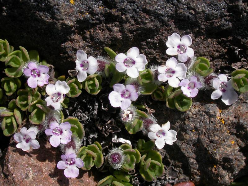 Clinopodium darwinii