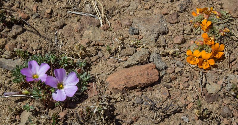 Oxalis adenophylla and Viola auricolor